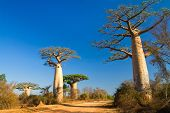 stock photo of baobab  - Baobab trees - JPG