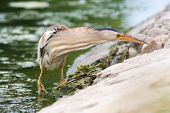 a female of little bittern hunting on the shore / Ixobrychus minutus