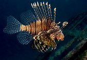 Lionfish From The Side