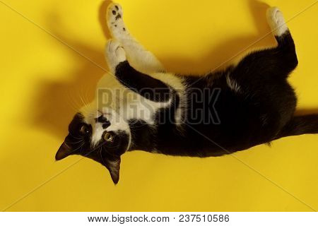poster of Black Cat On Yellow Background, Cropped Shot.cute Tuxedo Cat With Funny Face.tuxedo Cat Over Yellow