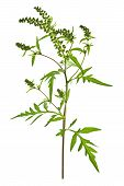 picture of ragweed  - Ragweed plant in allergy season isolated on white background common allergen - JPG