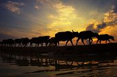 Silhouette Sunset With Lifestyle Countryside,silhouette Animal Husbandry In Countryside,farmer With  poster