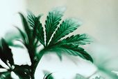 Small Top Of A Cannabis Plant Growing A Macro Shot On A Vegetation Plant Medical Marijuana Marijuana poster