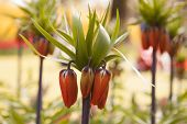 Single Stem Of Fritillaria Imperialis Aurora Single Stem Of Fritillaria Imperialis Aurora poster