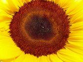 Beautiful Sunflower Flower Head