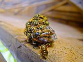 Wasp Swarm Hibernating On Wooden Deck Macro