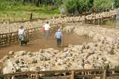Sheep-Herders Rounding Up The Flock For Marking