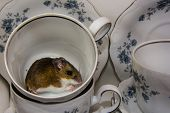 A Wild Brown House Mouse, Mus Musculus, Just Hanging Out In A China Tea Cup. Side View Of The Sleepy poster