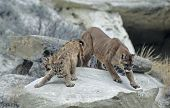 pic of mountain lion  - Cougar and kits in rocks in the North Dakota badlands - JPG