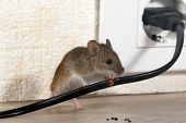 Closeup Mouse Gnaws Wire  In An Apartment House On The Background Of The Wall And Electrical Outlet  poster