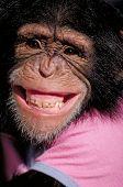 Chimpanzé sorridente