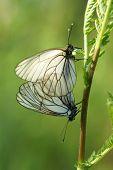 A Mating Pair Of Black-veined White Butterflies (aporia Crataegi)