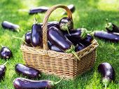 Aubergines or eggplants in wicker basket on the grass. poster