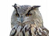 Horned owl's isolated portrait