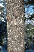 Thick tree trunk close up, winter background poster