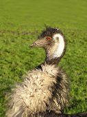 Emu Portrait 2