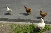 Why did the chickens cross the road