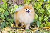 Dog Obedience, Training. Clever Pomeranian. Spitz Executes The Command. Beautiful Fluffy Ginger Dogg poster