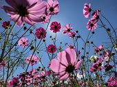 Cosmos Field In Full Bloom, Pink Cosmos In Backlight poster