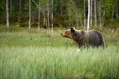 The Brown Bear (ursus Arctos) Female Walking In The Green Grass. The Brown Bear (ursus Arctos) In Su poster
