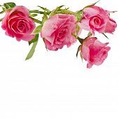 Fresh pink roses border isolated on white background