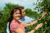 Happy young couple harvesting apples in summer, they might be gardeners or farmers