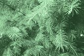 Fir Branches Blue Spruce. Close Up. Branches Of Blue Spruce. Winter Nature. Spruce Needles. Fluffy C poster
