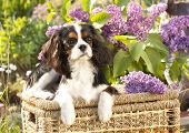 Cavalier king charles spaniel   and flowers lilac