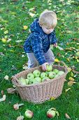 picture of crips  - Little toddler boy with basket full of apples in autumn garden Germany - JPG