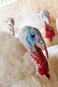 foto of turkey-hen  - Close - JPG