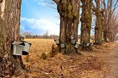 stock photo of sugar industry  - A line of trees with maple syrup buckets - JPG