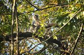 Angry grey langur in a tree