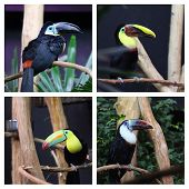 image of toucan  - Details of toucan in captivity white throated Toucan rainbow billed toucan swainsons toucan channel billed toucan in captivity - JPG