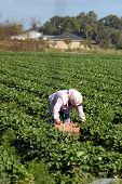 Selector de fresa migrantes Woorkers