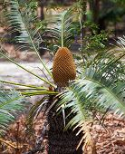 Cycas Platyphylla
