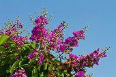 Lagerstroemia floribunda, Cananga flower