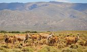 pic of eland  - Group of common elands  - JPG