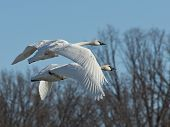Pair of flying Swans