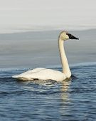 picture of trumpeter swan  - Trumpeter Swan swimming in an icy pond - JPG