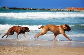 picture of chase  - Two dog chase each other on the beach - JPG