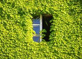 stock photo of ivy vine  - Window in old house hidden in green ivy - JPG