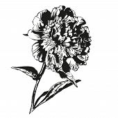 peony hand drawn vector llustration