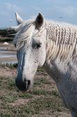 White Horse Portrait And Salt Marsh