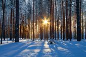 stock photo of blue spruce  - winter landscape with a coniferous forest in beams of the  sunset - JPG