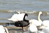 picture of black swan  - Black swan standing amongst group of white swans - JPG
