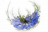 Nigella Blue. Nigella Sativa L.