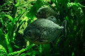 foto of hydrophytes  - Two big Piranhas in green underwater plants - JPG