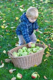 foto of crip  - Little toddler boy with basket full of apples in autumn garden Germany - JPG