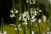 stock photo of humble  - Growing white flowers with a humble bee - JPG