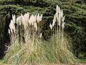 stock photo of pampas grass  - A Beautiful Flower Bed of Tall Pampas Grass.